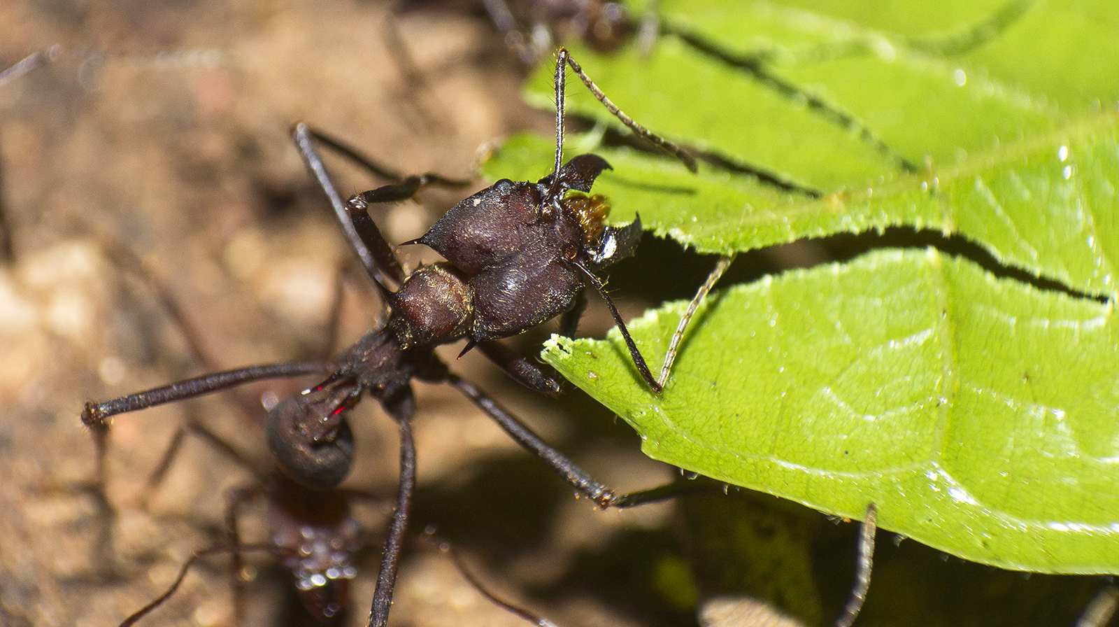 Leaf-cutter ant at work